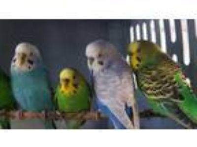 Adopt Thistle a Blue Parakeet - Other / Mixed bird in Washington, DC (25938886)