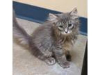Adopt Cleo a Gray or Blue Domestic Mediumhair / Domestic Shorthair / Mixed cat
