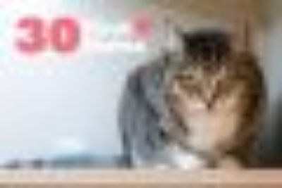 Savannah Esquire Attorney at Paw Domestic Short Hair Cat