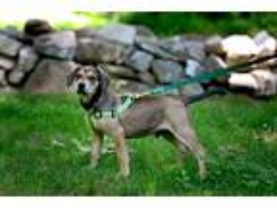Adopt Apollo a Brown/Chocolate - with Tan Hound (Unknown Type) / Terrier