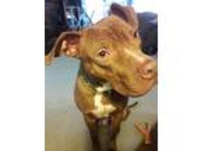 Adopt Bear a Brown/Chocolate - with White Pit Bull Terrier / Mixed dog in Grand