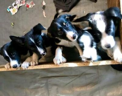 Border Collie PUPPY FOR SALE ADN-114336 - Border Collie Puppies for sale