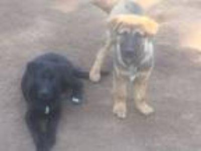 Adopt OREO a Akita, German Shepherd Dog