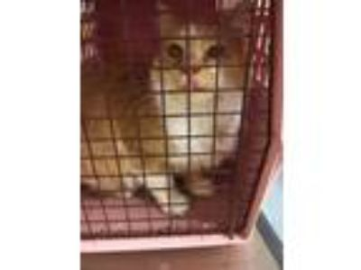 Adopt Carlton a Orange or Red Domestic Longhair / Domestic Shorthair / Mixed cat