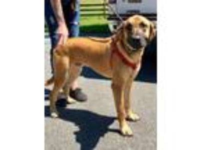 Adopt Diesel a German Shepherd Dog, Hound