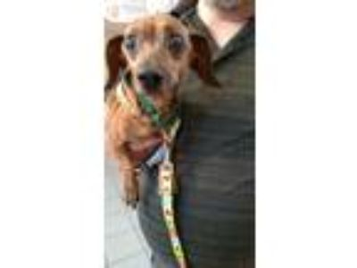 Adopt Ginger a Tan/Yellow/Fawn Dachshund / Mixed dog in Huntley, IL (18285121)