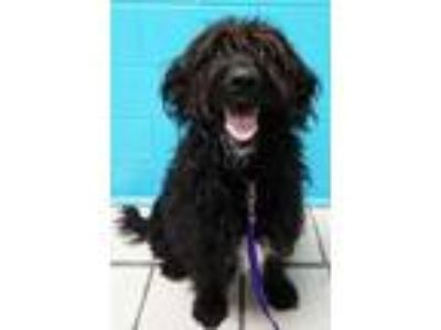 Adopt Sadi a Black Retriever (Unknown Type) / Poodle (Standard) / Mixed dog in