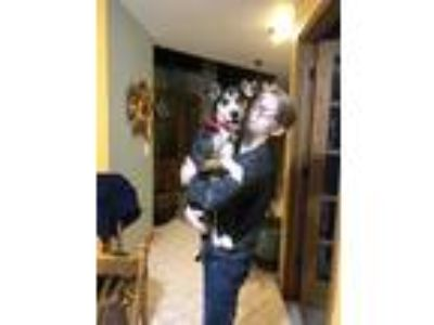 Adopt Bailey a Tricolor (Tan/Brown & Black & White) Beagle / Rat Terrier dog in
