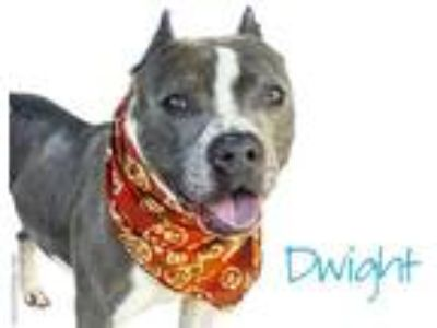 Adopt *DWIGHT a Gray/Silver/Salt & Pepper - with White American Pit Bull Terrier