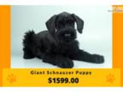 Giant Schnauzer Puppy | Female | Florida