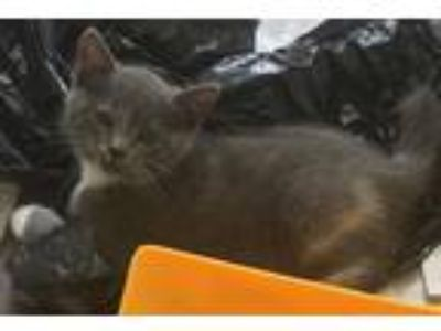 Adopt Fluff a Domestic Shorthair / Mixed cat in Bolton, CT (25901647)