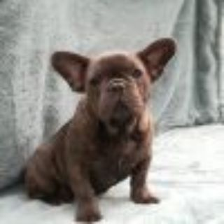 French Bulldog PUPPY FOR SALE ADN-105627 - AKC Daisy