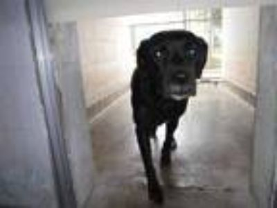 Adopt COLETTA a Black - with White Labrador Retriever / Mixed dog in Sanford