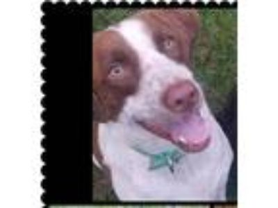 Adopt Brodi a White - with Brown or Chocolate Pointer dog in Columbia