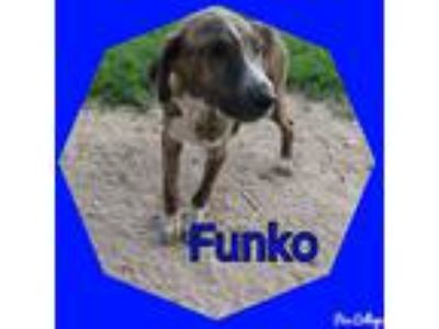 Adopt Funko a Brown/Chocolate - with White Plott Hound / Mixed dog in Tomah
