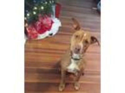 Adopt Penny a Black - with Tan, Yellow or Fawn Labrador Retriever / American Pit
