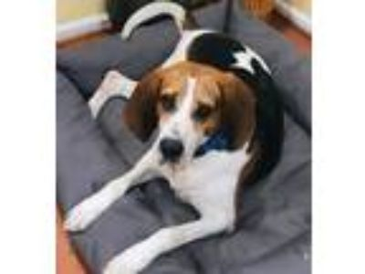 Adopt Dew a Hound (Unknown Type) / Mixed dog in Potomac, MD (25836582)