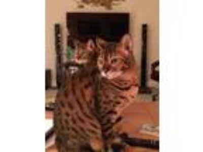 Adopt Sniki a Spotted Tabby/Leopard Spotted Bengal cat in Seminole