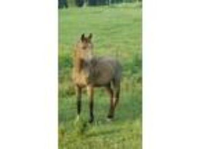 Adopt Oklahoma a Quarterhorse