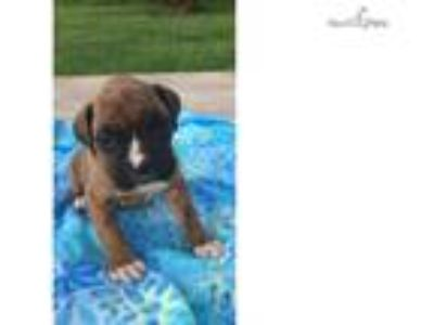 Cane full AKC tiger striped brindle boxer boy
