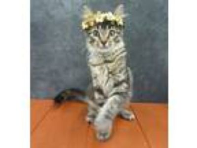 Adopt Athens - Maine Coon Mix Kitten a Domestic Medium Hair, Maine Coon