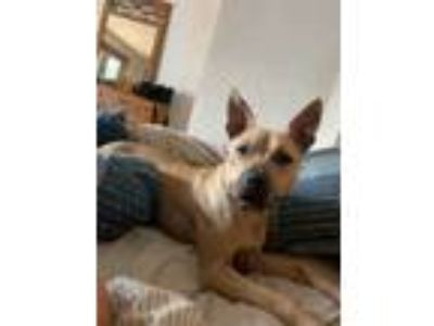 Adopt Pearl/Bella a Black Mouth Cur, Pit Bull Terrier