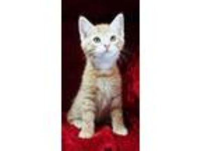 Adopt 3562 a Domestic Short Hair