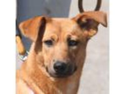 Adopt Brownie a German Shepherd Dog, Labrador Retriever