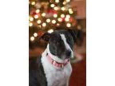 Adopt Lucy a Black - with White American Pit Bull Terrier / Jack Russell Terrier