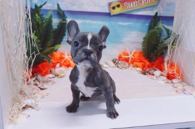 French Bulldog PUPPY FOR SALE ADN-88828 - French Bulldog  Mignon  Male AKC