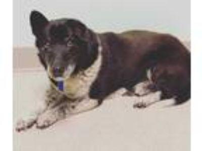 Adopt Roscoe a Black - with White Corgi dog in oklahoma city, OK (21439523)