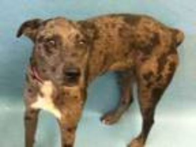 Adopt Ash a Black Catahoula Leopard Dog / Mixed dog in Golden Valley