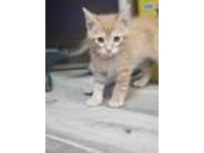 Adopt Fred a Domestic Shorthair / Mixed (short coat) cat in Henderson