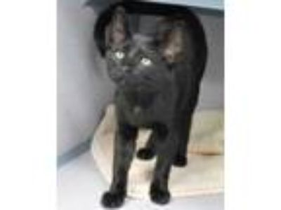 Adopt Shaw a All Black Domestic Shorthair / Domestic Shorthair / Mixed cat in
