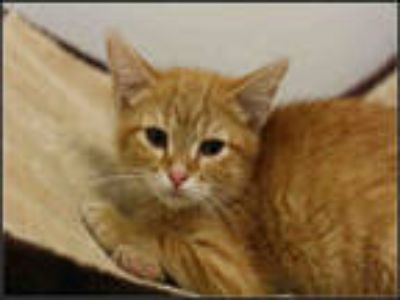 Adopt TUNA a Orange or Red Tabby Domestic Shorthair / Mixed (short coat) cat in