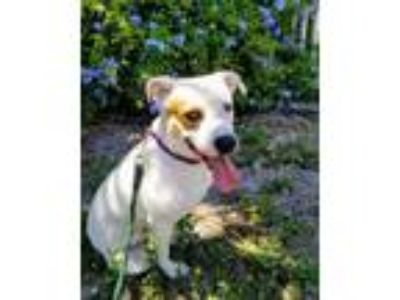 Adopt Max a Australian Cattle Dog / Blue Heeler, Mixed Breed