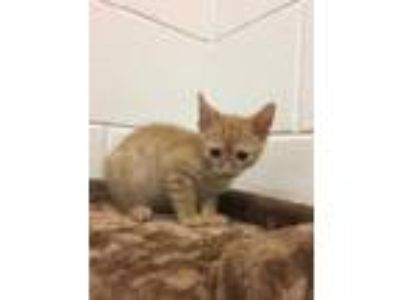 Adopt a Orange or Red Tabby American Shorthair / Mixed (short coat) cat in