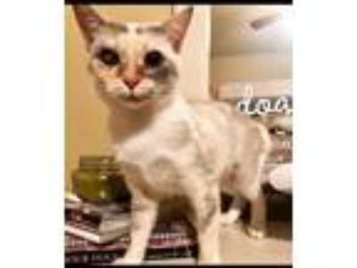 Adopt Louise a Cream or Ivory Siamese (long coat) cat in Staten Island