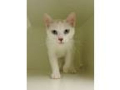 Adopt Moonshadow a White (Mostly) Domestic Shorthair (short coat) cat in