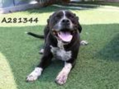 Adopt DAPPLE a Black - with White American Pit Bull Terrier / Mixed dog in