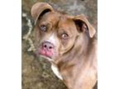 Adopt Rhodes a Pit Bull Terrier / Mixed dog in Memphis, TN (14367007)