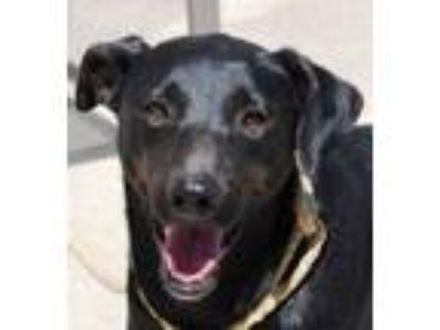 Adopt Loretta a Black Labrador Retriever