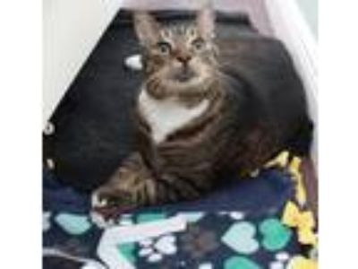 Adopt Noel a Brown or Chocolate American Shorthair cat in Boca Raton