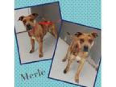 Adopt MERLE a Merle American Pit Bull Terrier / Catahoula Leopard Dog / Mixed