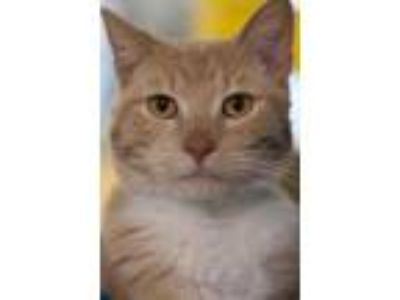Adopt Hypurr a Orange or Red Domestic Shorthair / Domestic Shorthair / Mixed cat