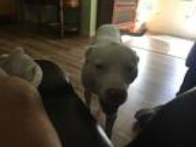 Adopt Jack a White American Staffordshire Terrier / Mixed dog in Altus
