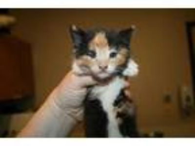 Adopt KALLIE a Tortoiseshell Domestic Shorthair / Mixed (short coat) cat in