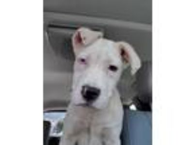 Adopt Rowdy NJS a White American Staffordshire Terrier / Mixed dog in Rosemont