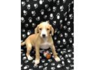 Adopt Blessing a Tan/Yellow/Fawn Beagle / Mixed dog in Elkhorn, WI (25336134)