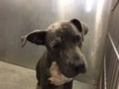 Adopt SKYY a Pit Bull Terrier